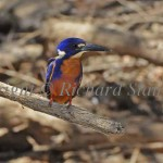 Azure_Kingfisher6_c