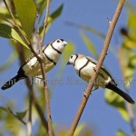 DB_Finches20_C
