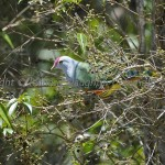 Rose_Crowned_Fruit_Dove