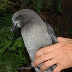 Petrel in the hand