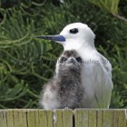Fig_01_White_Tern_&_Chick_small