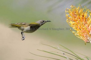 Fig_03_Brown_Honeyeater_small